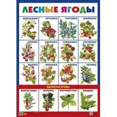 Плакат Лесные ягоды  550х770